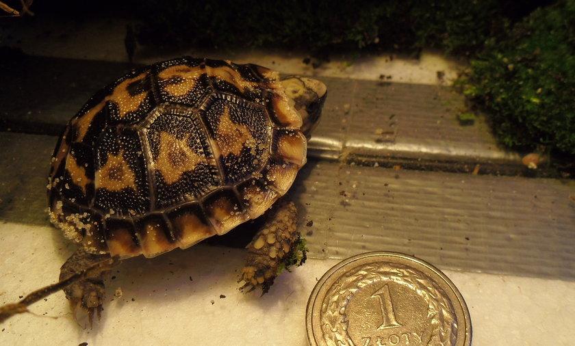 narodziny żółwia