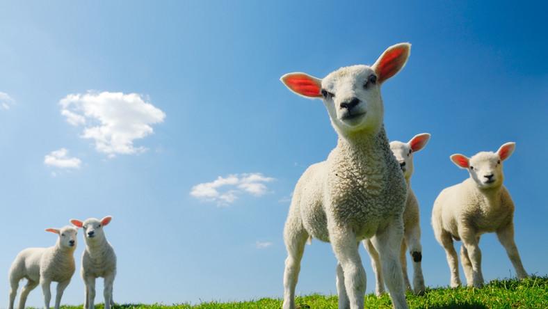 Czy to koniec zdjęć z owieczkami, czyli jednej z atrakcji dla turystów w górach?