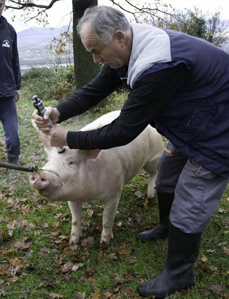 547287_upucavanje-svinje-foto-milica-marinkovic