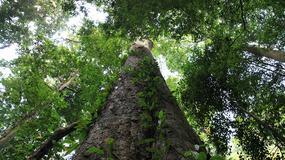 W okolicach Kilimandżaro odkryto najwyższe drzewo w Afryce