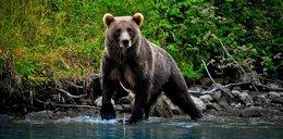 Niedźwiedź więził człowieka tygodniami w swojej norze? To nieprawda