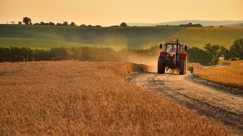 Gwałtowny wzrost cen kukurydzy sprawia, że na paszę dla bydła zaczęło się opłacać przeznaczać pszenicę.