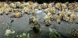 Katastrofa ekologiczna w Małopolsce. Ktoś wytruł 3,5 mln pszczół
