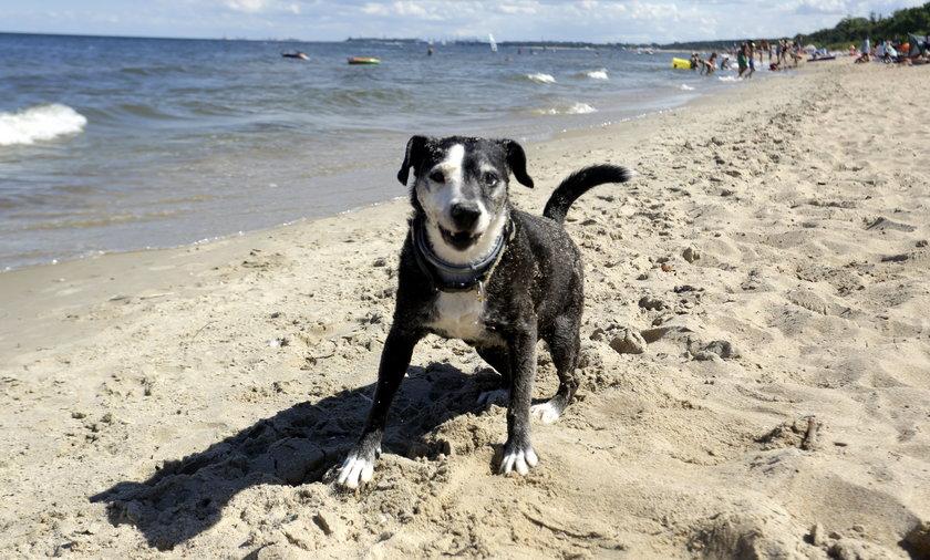 W Środzie Wielkopolskiej nie można wprowadzać psów na plażę miejską.