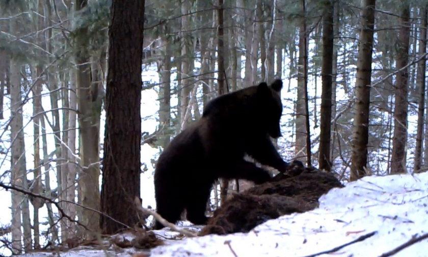 niedzwięź w zime w lesie