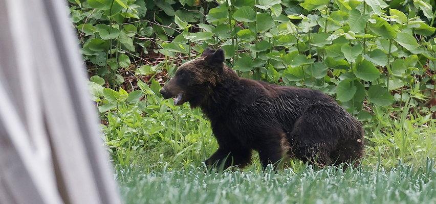 Szalony rajd niedźwiedzia po ulicach japońskiego miasta. Zaatakował bazę wojskową i zranił cztery osoby!