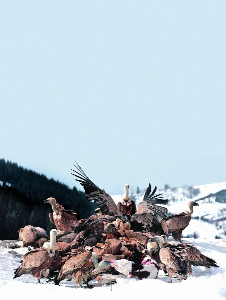 580052_varos-01-godisnje-pojedu-dvesta-tona-uginulih-zivotinja-i-klanicnog-otpada-beloglavi-supovi-u-knjonu-uvca-foto-rezervat-uvac