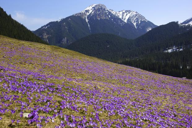 Krokusy w Dolinie Chochołowskiej w Tatrach