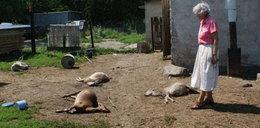 Puma wyssała kozom krew