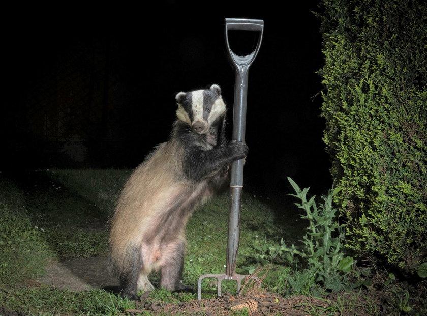 Borsuk ogrodnik przyszedł na nocną zmianę