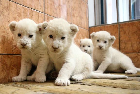Beli lavići su uvek bili atrakcija