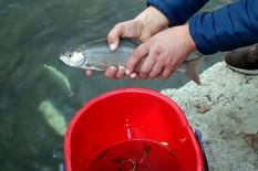 Spasavanje ribe na Đetinji