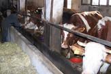 krave muzare na ericevoj farmi