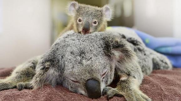 Veterinari kažu da ženka koale ima velike šanse za oporavak