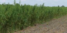 Ile rząd zarobiłby na legalizacji marihuany?
