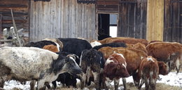 Trupy krów leżały w gnoju. Rolnik głodził stado