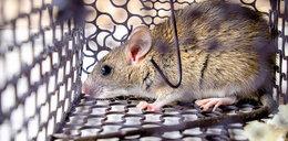Madryt walczy ze szczurami. Atakują zwierzęta, mogą być niebezpieczne dla ludzi