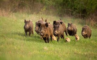 Brandenburgia w ramach walki z ASF wypłaca premie za zabite dziki