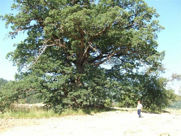 Procena je da drvo ovde raste već 600 godina