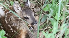 Czy wolno zabierać z lasu młode zwierzęta? [INFOGRAFIKA]