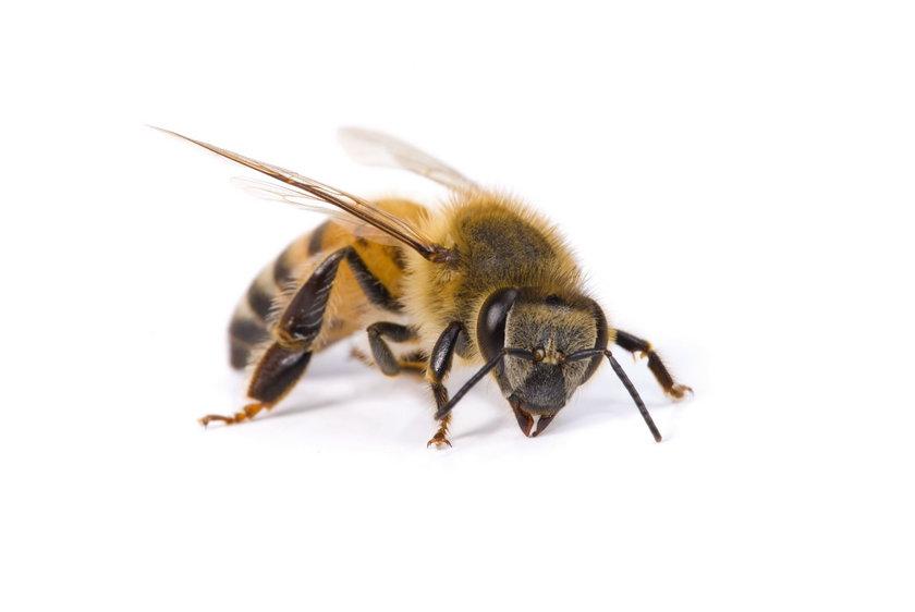 Leczył pszczoły marihuaną