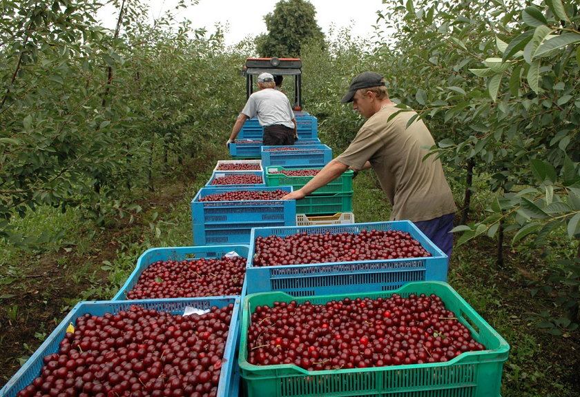 Plony owoców, m.in. truskawek, malin, czarnych porzeczek i wiśni są niższe