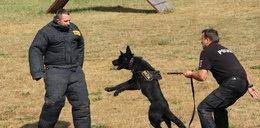 Ćwiczenia psów policyjnych we Wrocławiu