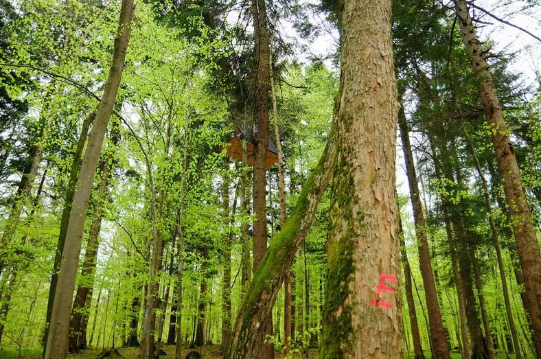 Blokada w koronie drzew