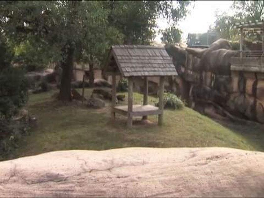 Atak jaguarów na 3-latka w zoo. Spadł na wybieg!