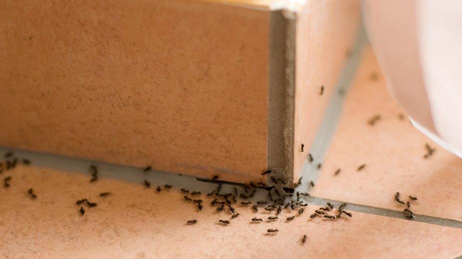 Pojawienie się mrówek w domu jest bardzo uciążliwe -  Shestakoff/stock.adobe.com