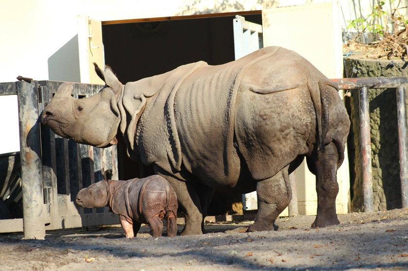 Rodzina nosorożców z Warszawskiego ZOO