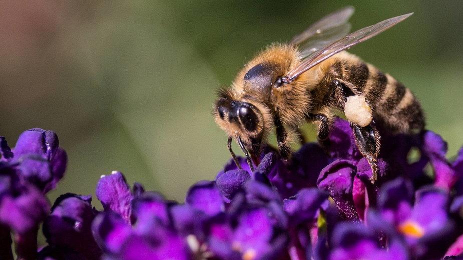 Pszczoła na kwiecie budlei