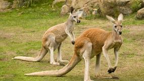 Mężczyzna rzucał w kangury kamieniami. Chciał, żeby zwierzęta zaczęły skakać