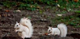 Ta wiewiórka to albinos