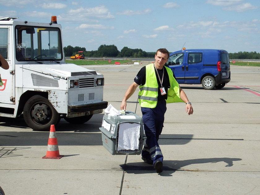 Chorzów. Roczna sowa mszarna leciałą samolotem ze Sztokholmu do Chorzowa
