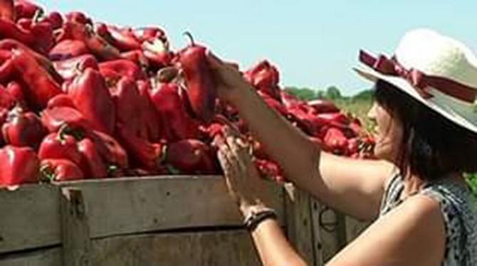 Puna prikolica zdravih paprika za Dušicu Oros je najlepši prizor