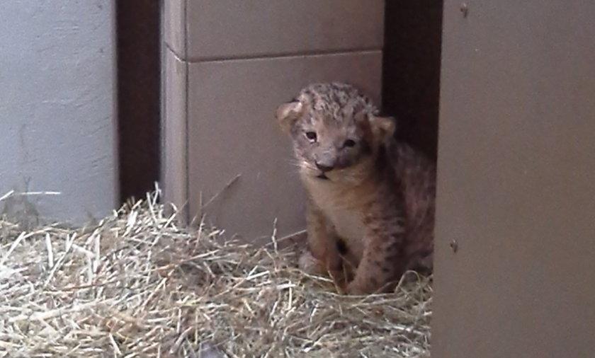 Mały lewek w gdańskim zoo.