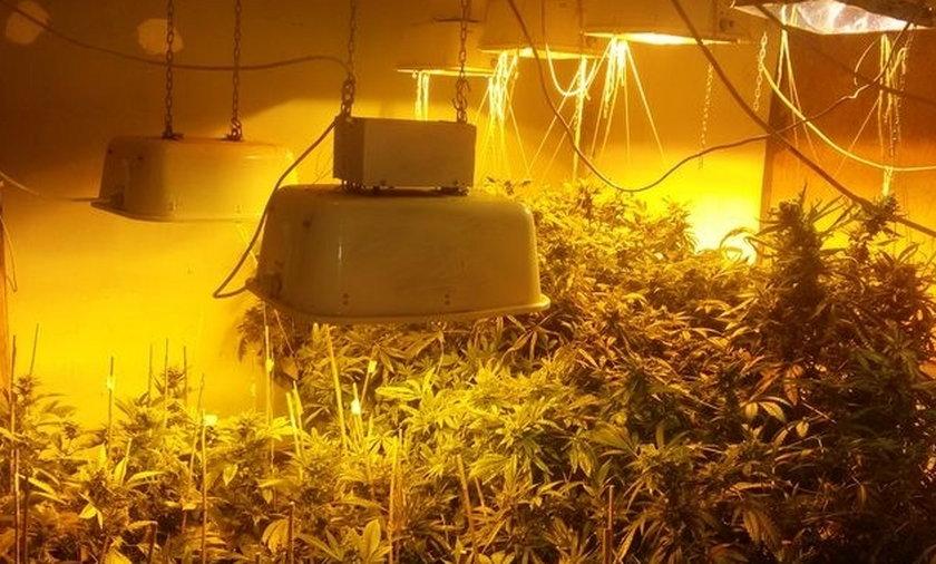 Policja zlikwidowała plantację marihuany.