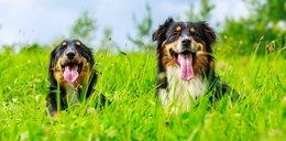 Jak skutecznie ochronić psa przed kleszczami