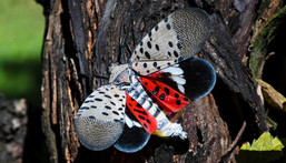 A spotted lanternfly at a vineyard in Kutztown, Pennsylvania.