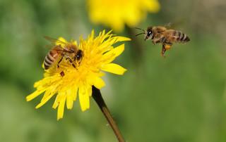 Ekolodzy kontra rolnicy, czyli bitwa o pszczoły