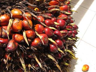 800px-Elaeis guineensis - noix de palme - oil palm fruit detail