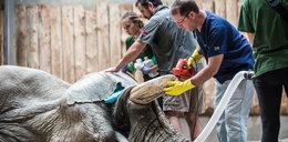 Słoń Ninio bez ciosa. Na operację przylecieli z drugiego końca świata [WIDEO]