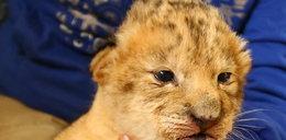 Psia mama przygarnęła lwa. Wzruszające zdjęcia
