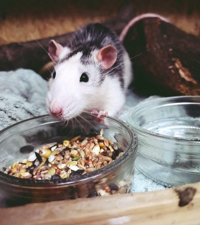 Szczurek