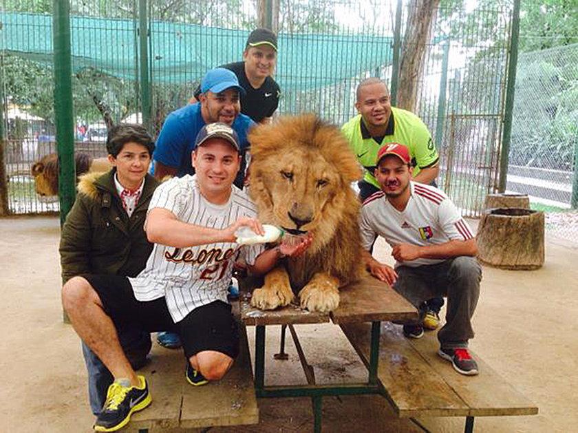 Faszerują lwy lekami, żeby turyści mogli zrobić zdjęcia