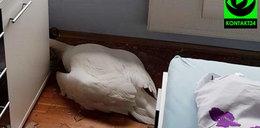 Łabędź samobójca? Odłączył się od stada i z ogromną siłą uderzył w okno