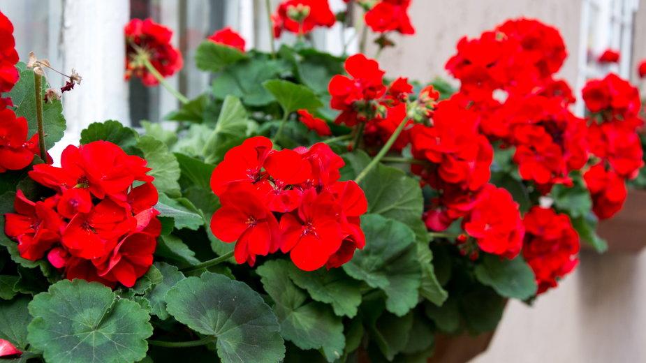 Pelargonie można wyhodować z nasion - ann_minsk/stock.adobe.com