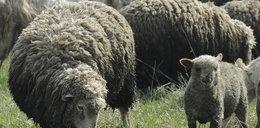 Setki owiec popełniły samobójstwo!
