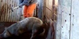 Makabra w chlewni. Zatłukli młotkiem tysiące świń